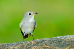 Front side of Red-throated Flycatcher Royalty Free Stock Image