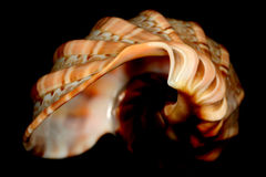 Front spiral of a colourfull snail shell. Snail shell called harpa articularis. From my collection. Don't know where it comes from Stock Photography