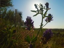 In front of sun. Some violet flowers on the field Royalty Free Stock Photos