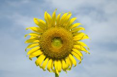 Front SunFlower Blue Sky Background Arkivfoto