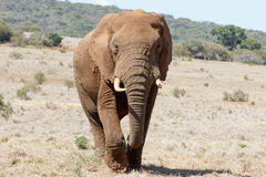 In front of us The Huge African Bush Elephant Stock Images
