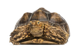 Front view of an African Spurred Tortoise, Geochelone sulcata Stock Photography