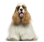 Front view of an American Cocker Spaniel, panting, sitting Stock Photography