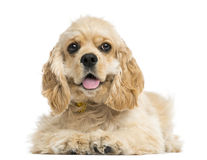 Front view of an American cocker spaniel puppy, 5 months Stock Photos