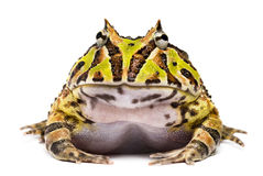 Front view of an Argentine Horned Frog, Ceratophrys ornata. Isolated on white stock images