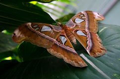 Front view of  atlas moth resting on large green leaf. Atlas moth resting on large green leaf in a botanic garden in Scottsdale, Arizona Stock Image