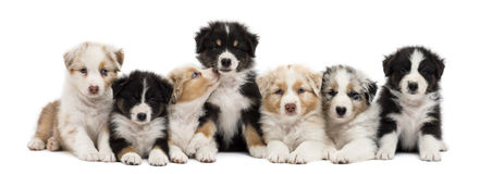 Front view of Australian Shepherd puppies Stock Image