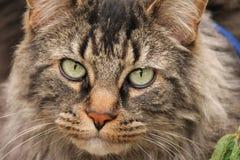 Front View av den inhemska medelHaired katten Royaltyfria Bilder