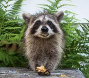 Front view of a baby raccoon holding food in her front paws.. A smiling baby raccoon holding food in her paws while standing on a peeling gray bench. Green royalty free stock photos