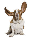 Front view of Basset Hound with ears up, sitting. Basset Hound with ears up, 2 years old, sitting in front of white background royalty free stock images
