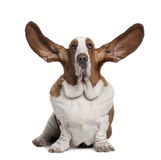 Front view of Basset Hound with ears up, sitting