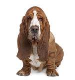 Front view of Basset Hound, sitting. Basset Hound, 2 years old, sitting in front of white background stock photography