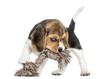 Front view of a Beagle puppy biting a rope toy, isolated royalty free stock photo
