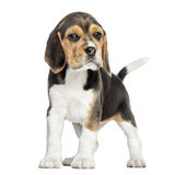 Front view of a Beagle puppy standing, looking at the camera Royalty Free Stock Photo