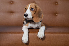 Front view of Beagle, 1 year old, sitting, brown background. Royalty Free Stock Images