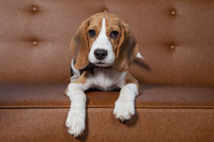 Front view of Beagle, 1 year old, sitting, brown background. Stock Image