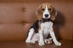 Front view of Beagle, 1 year old, sitting, brown background. Royalty Free Stock Photography