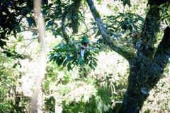 Beautiful Quetzal bird in nature tropic habitat Royalty Free Stock Images