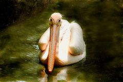Front view of Beautiful White Pelican swimming. Front view of Beautiful White Pelican`s large beak and neck is swimming in the water royalty free stock images