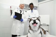 Malamute lying in vet clinic, vets posing behind. Front view of big beautiful malamute lying and posing in medical cabinet in vet clinic. Two veterinary doctors stock photography