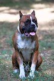 Front view of big old school Boxer dog with metal collar, cut ears, ginger and white with black mask. Purebred adult dog male. Outdoors, copy space stock photos