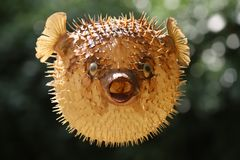 Front view of a blow fish or porcupine fish