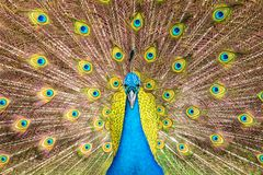 Front view of  blue male indian peacock and full spread tail feathers. Front view of  blue male indian peacock and .full spread tail feathers background stock photography