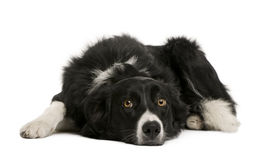 Front view of Border collie lying down