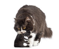 Front view of British Longhair carrying a one week old kitten Stock Photos