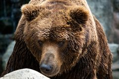 Front view of brown bear. Portrait of Kamchatka bear stock photos