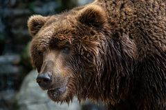 Front view of brown bear. Portrait of Kamchatka bear royalty free stock image