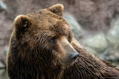 Front view of brown bear. Portrait of Kamchatka bear stock images