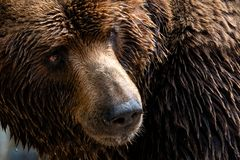 Front view of brown bear. Portrait of Kamchatka bear royalty free stock photos