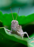Front view  of brown grasshopper hanging on leaf Stock Photography