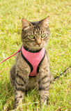 Front view of a brown tabby cat in pink harness and leash. In green grass, looking to the right of the viewer Royalty Free Stock Photography