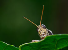 Front view of  brown  yellow grasshopper standing on leaf Stock Image