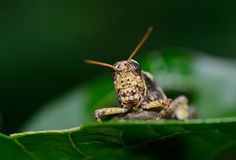 Front view of  brown  yellow grasshopper standing on leaf Stock Images