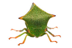 Front View of a Buffalo Treehopper Royalty Free Stock Images