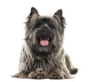 Front view of a Cairn Terrier lying, panting, isolated Royalty Free Stock Image