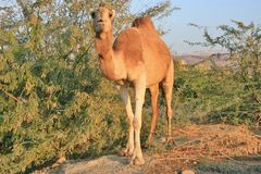 Front view of camel next to bushes. Stock Photo
