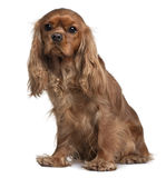 Front view of Cavalier King Charles, sitting Royalty Free Stock Images