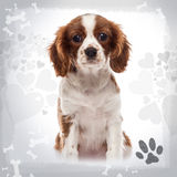 Front view of a Cavalier King Charles Spaniel puppy sitting Royalty Free Stock Photo