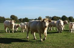 Front View Charolais White Cattle stock foto's