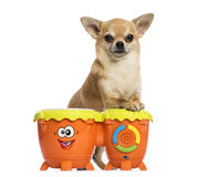Front view of a Chihuahua playing drums, isolated Stock Images