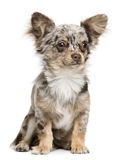 Front view of Chihuahua puppy, 8 months old Royalty Free Stock Photos
