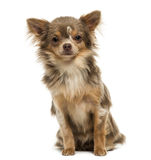 Front view of a Chihuahua puppy looking at the camera, 6 months Stock Photography