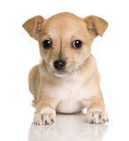 Front view of Chihuahua puppy lying down Stock Image