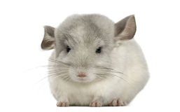 Front view of a Chinchilla, isolated Royalty Free Stock Photos