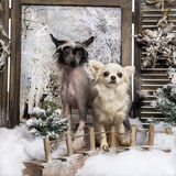 Front view of a Chinese crested dog puppy and Chihuahua standing on a bridge Stock Photo