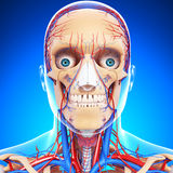 Front view of circulatory system of head. 3d art illustration of Front view of circulatory system of head Royalty Free Stock Photos